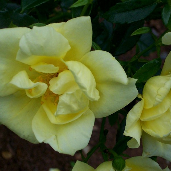 Flower Carpet Rose Yellow