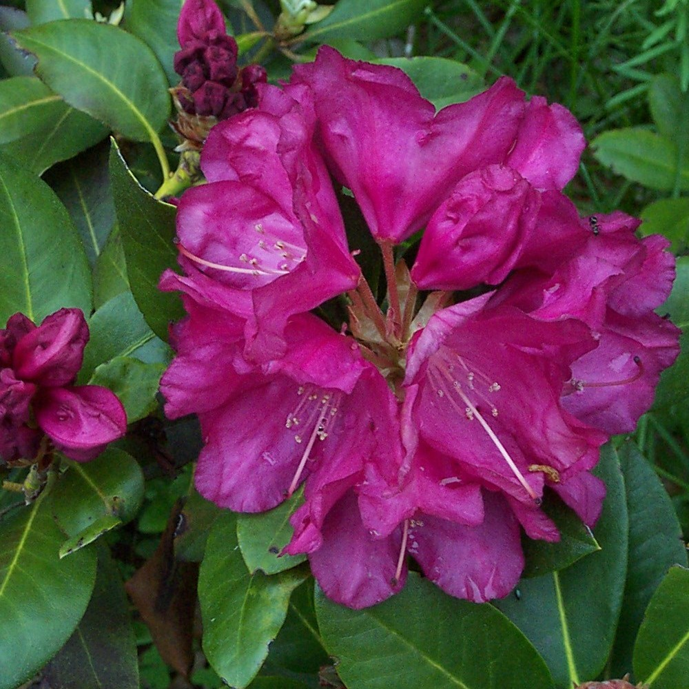 Top 28 Where Do Rhododendrons Grow Rhododendron